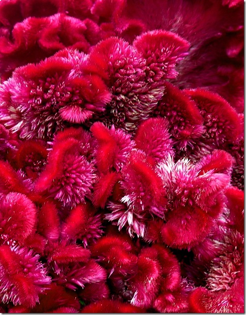 Celosia Coxcomb detail thumb Foto Friday – Animal Vegetable or Mineral?